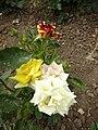 Троянда в ботанічному саду влітку. 2017 р.jpg