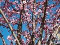 Цветение вишни мелкопильчатой.jpg