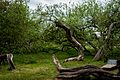 Яблуня-колонія, м.Кролевець, img1.jpg