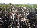 גידולי כותנה בשדות עמק חפר - ישראל.jpg