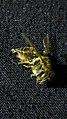 عکسی از زنبور عسل مرده-Honey bee.jpg