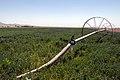 مزرعه یونجه -Medicago sativa 02.jpg