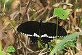 கறிவேப்பிலை அழகன் - Common Mormon Male - Papilio polytes.jpg