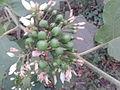 சுண்டை 1 Solanum torvum.jpg