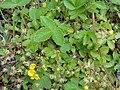 キジムシロ(雉莚-雉蓆)(Potentilla fragarioides var. major)-全体 (5845093192).jpg