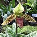 兜蘭屬 Paphiopedilum sukhakulii -日本大阪鮮花競放館 Osaka Sakuya Konohana Kan, Japan- (41355915514).jpg