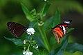 台大農場 - 小紫斑蝶(左) 與黑脈樺斑蝶(右) - panoramio.jpg