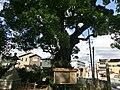 大蛇と大蝙蝠の戦い伝説の大楠 - panoramio.jpg