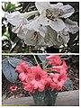 杜鵑花 Rhododendron cultivars -倫敦植物園 Kew Gardens, London- (15121773558).jpg
