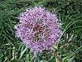 波斯星蔥 Allium cristophii -匈牙利 Heviz, Hungary- (27184964783).jpg