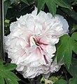 牡丹-玉點翠 Paeonia suffruticosa -菏澤百花園 Heze, China- (12477932103).jpg