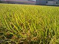 田んぼ(平群町西宮1丁目) - panoramio - kasshy.jpg