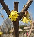 素心蠟梅 Chimonanthus praecox v concolor -南京情侶園Nanjing Lovers Park, China- (33511161915).jpg