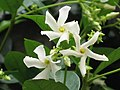 絡石 Trachelospermum jasminoides -香港動植物公園 Hong Kong Botanical Garden- (9240229508).jpg