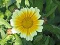 茼蒿 Chrysanthemum segetum -香港西貢獅子會自然教育中心 Saikung, Hong Kong- (9213340579).jpg