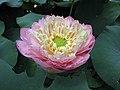 蓮花-光輝 Nelumbo nucifera 'Splendor' -深圳洪湖公園 Shenzhen Honghu Park, China- (14225962970).jpg