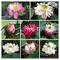 蓮花 Nelumbo nucifera cultivars 4 -澳門龍環葡韻 Macau Lotus Show, China- (39710836900).jpg