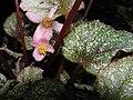 蛤蟆秋海棠 Begonia rex Duartei -香港公園 Hong Kong Park- (9193422768).jpg