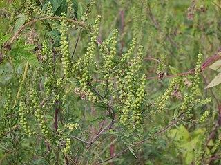 Ambrózia palinolistá (Ambrosia artemisiifolia)