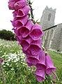 -2020-06-12 Foxglove in flower, All Saints, Walcott (2).JPG