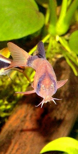 Corydoras panda care & info | Cheerful, community proof aquarium fish! #aquariums