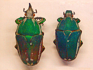 Remote control animal - The beetle species Mecynorrhina torquata has been shown to be susceptible to remote control technology.
