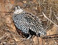 072 - MONTEZUMA QUAIL (12-12-2016) imm male, patagonia mountains, santa cruz co, az -07 (31627859891).jpg