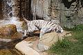 08-2011. Panthera tigris tigris - Texas Park - Lanzarote -TP05.jpg