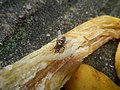 1400Common houseflies eating Bananas 10.jpg