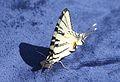 1838 Papilio.JPG