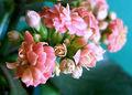 2007-03-19Kalanchoe blossfeldiana06.jpg