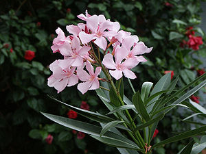 Flowers of Nerium oleander in our front yard i...