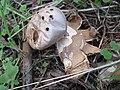 2010-10-24 Myriostoma coliforme (Dicks.) Corda 175175.jpg