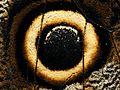 2013-04-30 14-38-21-ocelle-caligo-3f.jpg