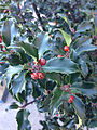 2014-12-26 11 34 28 Blue Holly leaves and fruit on Olden Avenue in Ewing, New Jersey.JPG