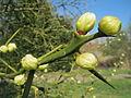 20140327Poncirus trifoliata1.jpg