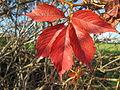 20141108Parthenocissus quinquefolia3.jpg