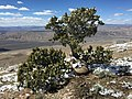 2015-04-26 14 23 09 Old Utah Juniper on the summit of Grindstone Mountain, Nevada.jpg