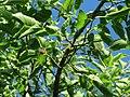 20160718Morus nigra1.jpg