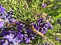 2017-07-02 Lavender 08.jpg