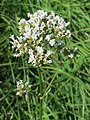 20170717Valeriana officinalis2.jpg