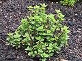 2018-04-10 Oregano plant, (Origanum vulgare), Northrepps, Cromer.JPG