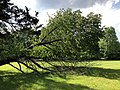 2019-05-26 16 57 09 A Cherry tree broken during a storm, with all the lower leaves having been eaten by deer, along a walking path in the Franklin Glen section of Chantilly, Fairfax County, Virginia.jpg