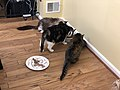 2019-10-29 19 49 48 Three cats eating in the Franklin Farm section of Oak Hill, Fairfax County, Virginia.jpg