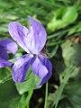 20190325 Viola odorata 2.jpg