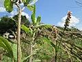 20190819Persicaria lapathifolia1.jpg