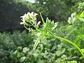 20200427Alliaria petiolata2.jpg