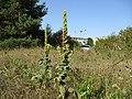 20200918Verbascum thapsus.jpg