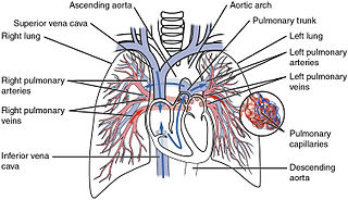 Pulmonary circulation The part of the circulatory system which carries blood from heart to lungs and back to the heart