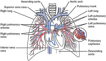 Circulatory system wikipedia the pulmonary circulation as it passes from the heart showing both the pulmonary and bronchial arteries ccuart Choice Image